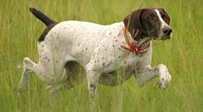 HPR GSP German Shorthair
