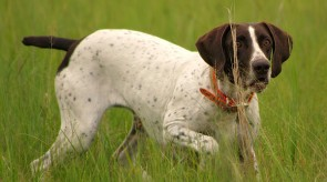 Matotoland Kennel Hpr gsp pup Bullet