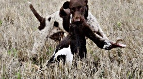 Matotoland Kennel Hpr gsp pup Dixie