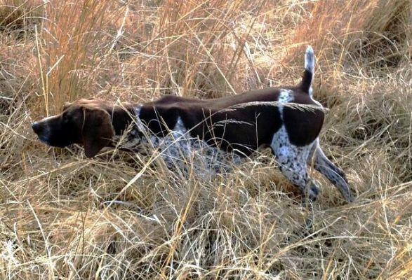 Matotoland Kennel Hpr gsp Temic
