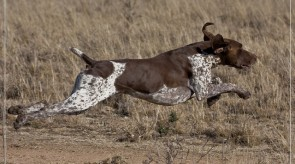 HPR GSP Temic Germsn Shorthair Pointer in Sa