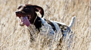 Matotoland Kennel Hpr gsp pup Dollar