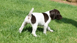 Gsp Matotoland Kennel Pup