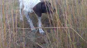 GSP Puppy