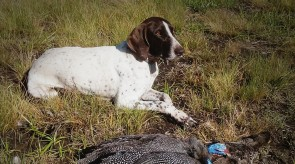 Matotoland Kennel Hpr gsp Bullet