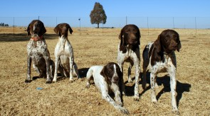 HPR GSP German Shorthair Pointers in SA