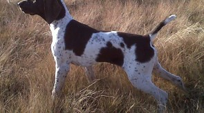 GSP HPR Dixie GERMAN Shorthair Pointer