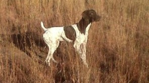 German Shorthair Pointer GSP HPR Dollar Boy