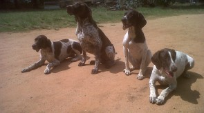 German Shorthair Pointer GSP HPR Dogs in South Africa