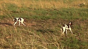 German Shorthair Pointers GSP HPR Dogs in South Africa