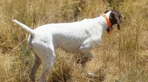 GSP HPR German Shorthair Pointer
