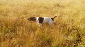GERMAN SHORTHAIR POINTER DAGGER HPR GSP