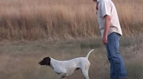 German Shorthair Pointer GSP HPR Cleo of Matotoland Kennel