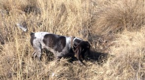 German Shorthair Pointer GSP HPR Trigger_of_Matotoland_Kennel.