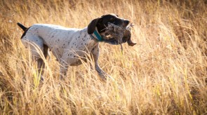 German Shorthair Pointer GSP HPR Bullet of Matotoland Kennel