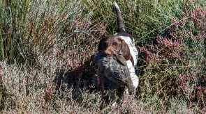HPR GSP Dixie German Shorthair Pointer