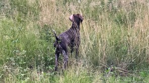 Matotoland Kennel Hpr gsp pup