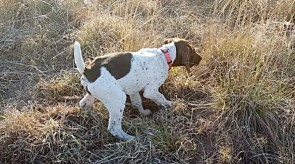 Daci10weeks Matotoland Kennel hpr gsp pup