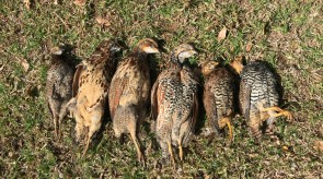 Grassland Partridge