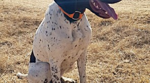Matotoland Kennel Hpr gsp pup - Daci