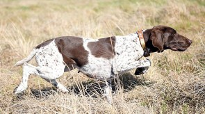 Bonny of  Matotoland Kennel - Focused Gsp