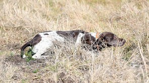 Dixie of Matotoland Kennel - Stealth Gsp