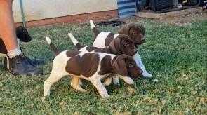Dawn  Duke  Puppies