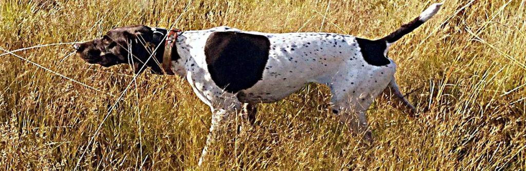 Dagger of Matotoland Kennel imported GSP from the U.S.A