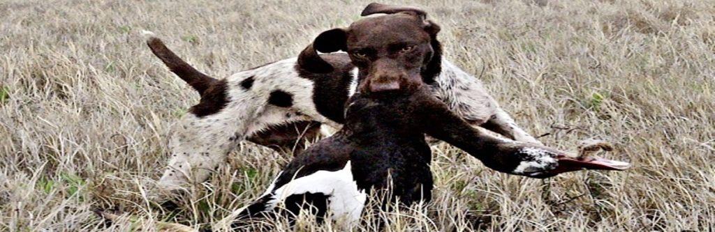 Wildrose Dixie of Matotoland Kennel  Imported GSP from the U.S.A